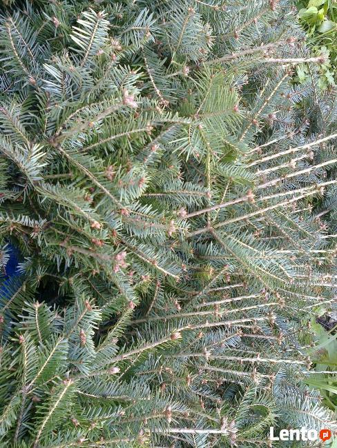 Sadzonki jodły, drzewka jodły, jodła pospolita, Abies alba