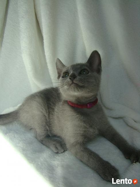 Sprzedam kocięta Rosyjskie niebieskie