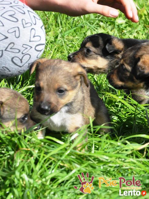 BONANZA-Piękna sunia do adopcji-szczeniątko 6 tygodni,adopcj