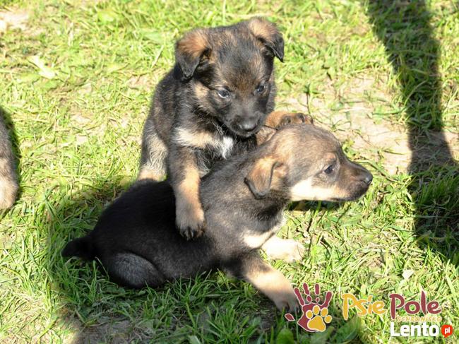 DUZERS-kochany,wspaniały, malutki kudłaty psiak-szukamy domu