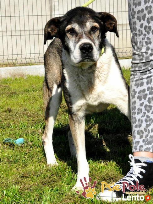 FREDIE-bardzo miły psi staruszek-kochany, grzeczny, przyjazn