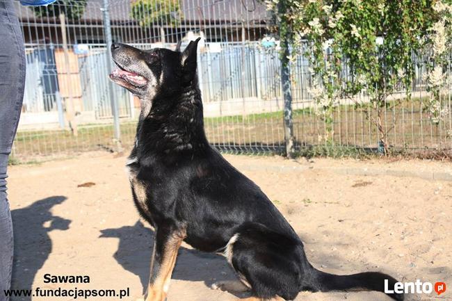 Sawana - duża owczarkowata sunia