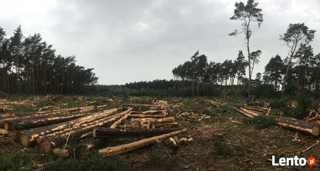 Wycinka Skup lasu na Pniu Sosna Świerk Brzoza Olcha
