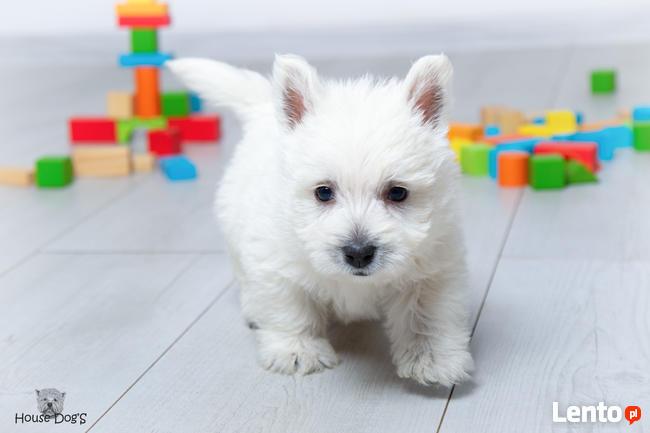 West Highland White Terrier, Zapraszamy do Rezerwacji !!!