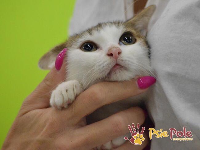 BIBUŁKA-Biała kicia z burym ogonkiem szuka domu, adopcja.