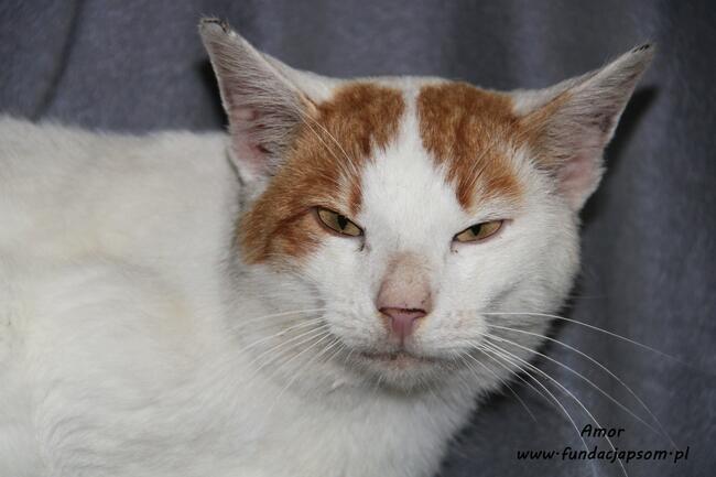 Amor - biało - rudy kotek