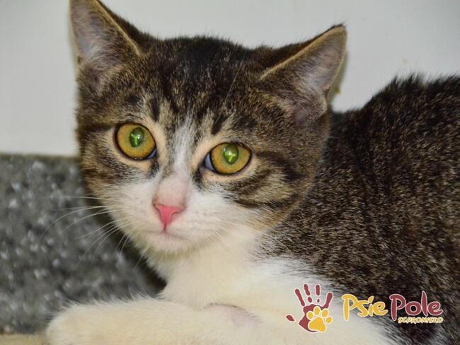 CZUPUREK-Maleńki buro-biały kociak szuka kochającego domu