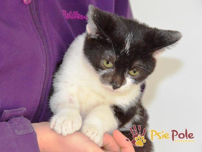 CZARNOWĄS- Malutki piękny puchaty czarno-biały kociak-adopcj
