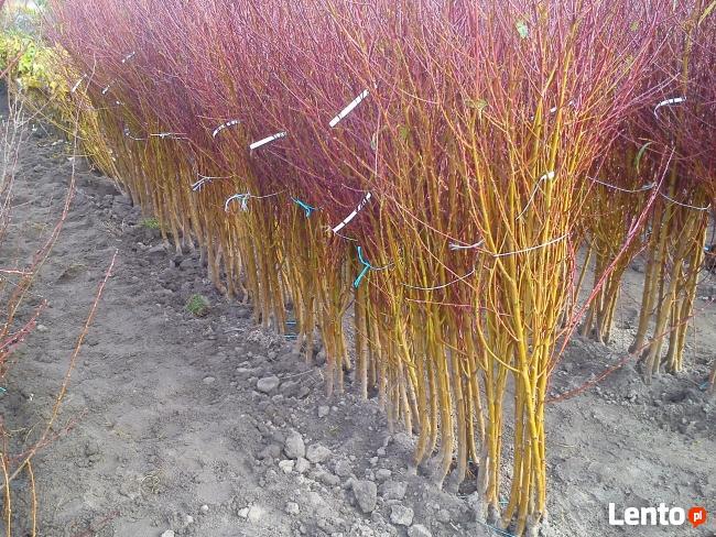 Kwalifikowana szkółka drzew i krzewów owocowych i ozdobnych