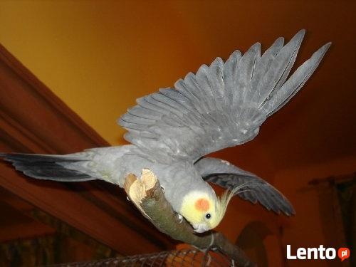 Papugi nimfy piękne kolory