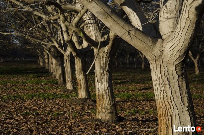 Kupię Drewno Z Orzecha Włoskiego Jabłoni innych Owocowych