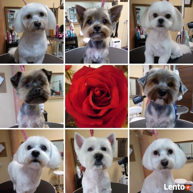 STRZYŻENIE PSÓW Salon PUPILEK Legnica fryzjer dla psa