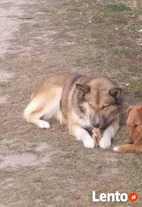 Misio a typ. husky do pilnej adopcji Iwona Tom.