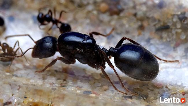 Mrówki Messor wasmanni Q + 20-30 robotnic