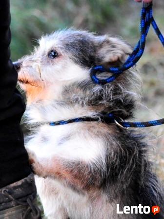 TRYSIO-maleńki, spokojny,niekonfliktowy psiak uratowany od z