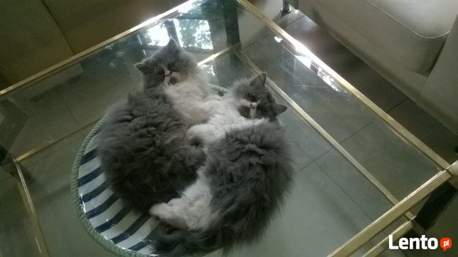 Koty perskie! Persy!