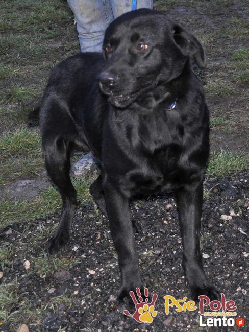 FALCOR-wspaniały, b.energiczny, wesoły psiak w typie labradora