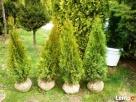 Tuje szmaragd Śląsk wysokie tanio duże 180cm 200cm 220cm - 3