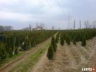 Tuje szmaragd Śląsk wysokie tanio duże 180cm 200cm 220cm - 5