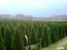 Tuje szmaragd Śląsk wysokie tanio duże 180cm 200cm 220cm - 6