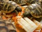 sprzedam żółwia greckiego - 1