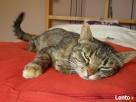 Kochana, młoda, spokojna kotka szuka domu