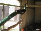 Pawie Jawajskie Rychwał