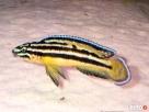 rybki naskalnik julidochromis-regani