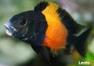 Rybki pyszczaki tropheus black bemba