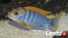 rybki pyszczaki Labidochromis Hongi Dywity