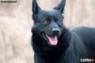 Keks- radosny, żywiołowy pies w typie elkhunda czarnego Nowy Dwór Mazowiecki