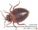 Pluskwy - odpluskwianie, zwalczanie insektów 600_443_462 Libiąż
