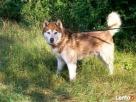 Sampo- piękny rudy husky szuka domu - 2
