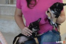 Chihuahua z rodowodem FCI - 3