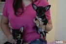 Chihuahua z rodowodem FCI - 2