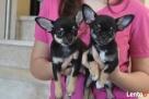 Chihuahua z rodowodem FCI - 6
