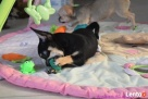 Chihuahua z rodowodem - rezerwacja - 7