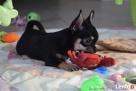 Chihuahua z rodowodem - rezerwacja - 3