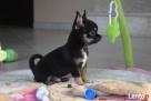 Chihuahua z rodowodem - rezerwacja - 1