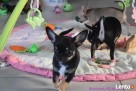 Chihuahua z rodowodem - rezerwacja - 4