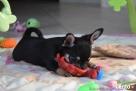 Chihuahua z rodowodem - rezerwacja - 6