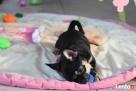 Chihuahua z rodowodem - rezerwacja - 2