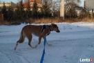 Sonia - idelany pies dla mało aktywbych ludzi - 5