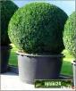Sprzedam rośliny drzewa i krzewy iglaste, liściaste, drzewka - 6