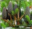 Sprzedam rośliny drzewa i krzewy iglaste, liściaste, drzewka - 4
