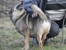 BROWNIE-wierny pies, świetny kompan, oddany psi przyjaciel - 5