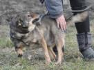 BROWNIE-wierny pies, świetny kompan, oddany psi przyjaciel - 8
