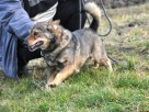 BROWNIE-wierny pies, świetny kompan, oddany psi przyjaciel - 2