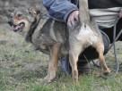BROWNIE-wierny pies, świetny kompan, oddany psi przyjaciel - 4