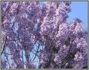Paulownia - dochodowe drzewa szybko rosnące - 4
